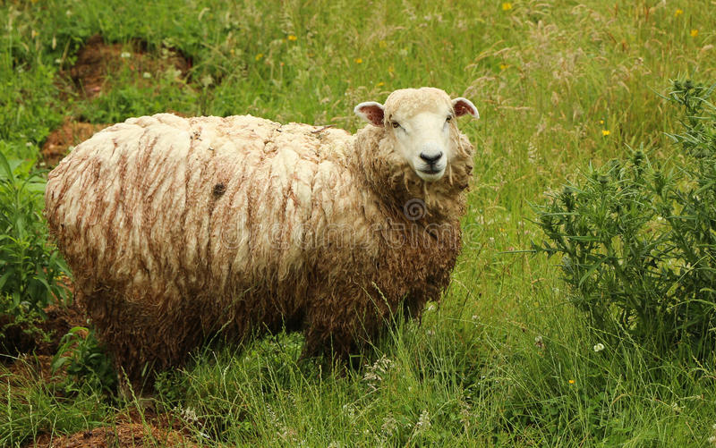 Wet Sheep Royalty Free Stock Images