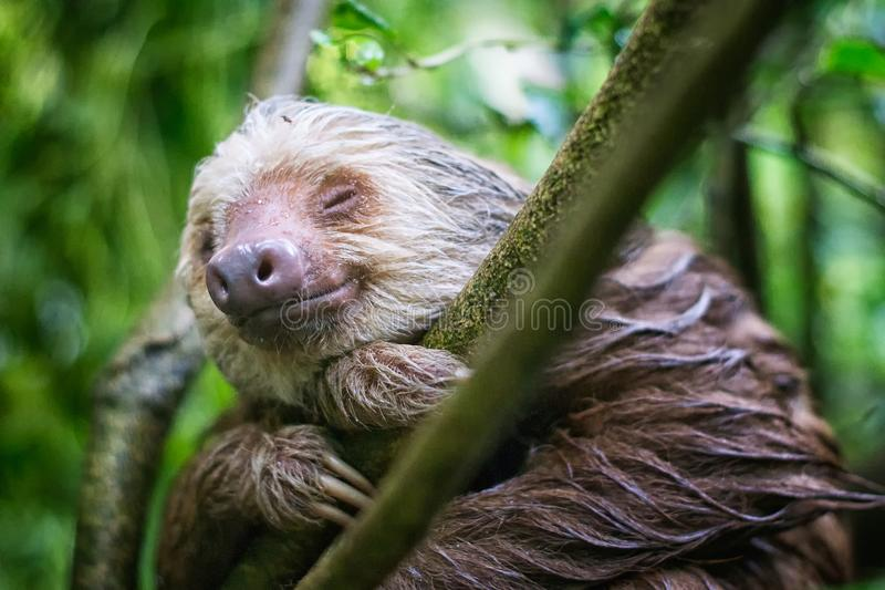 Wet sloth smiles in Punta Uva, Costa Rican Rainforest stock photo