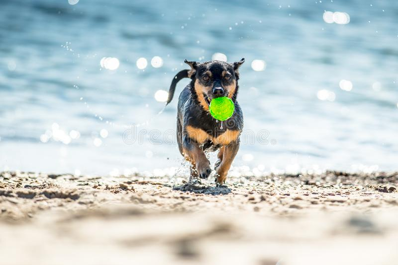 Wet dog running with ball stock photos