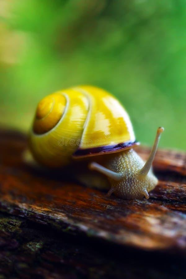 Wet snail on rainny day. Wet snail on a rainny day royalty free stock photography