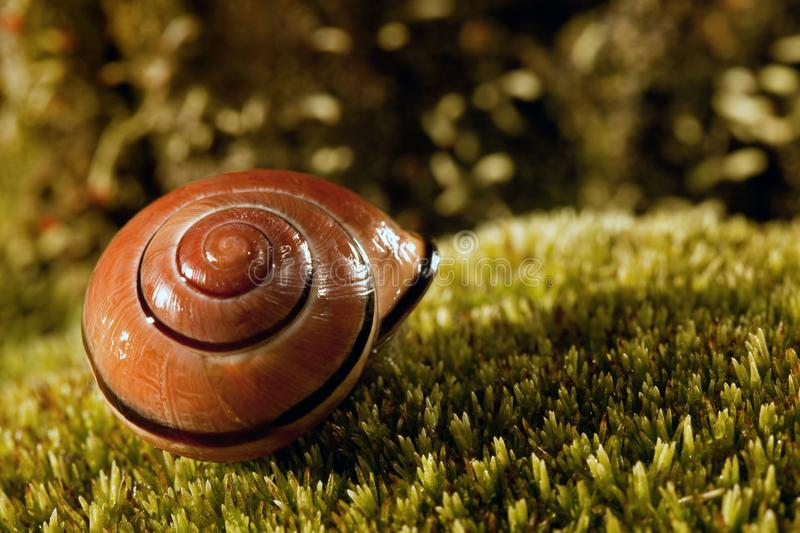 Wet snail shell. Snail`s shell on the nice moss on the dark background stock images