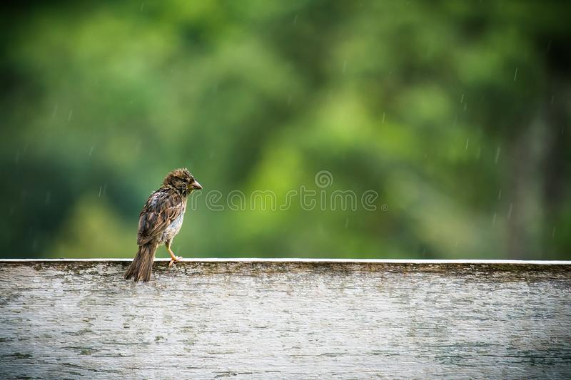 Wet sparrow bird sitting on a fence white wooden board waiting for the rain to calm down. stock images