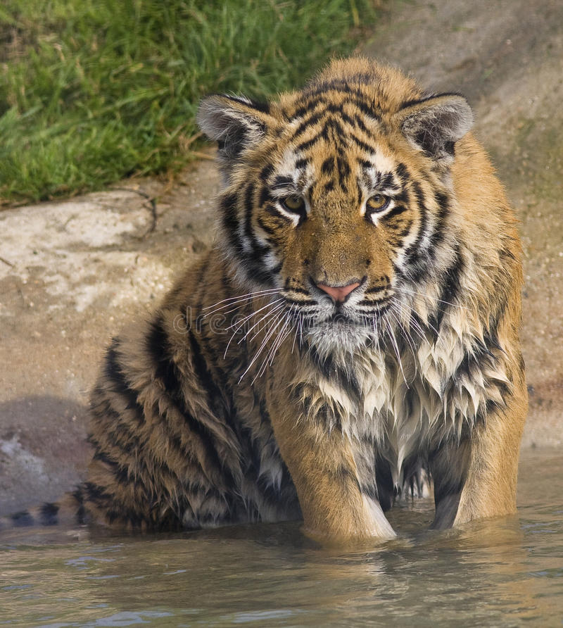 Download Wet Tiger Cub stock photo. Image of handsome, grass, nature - 21407882