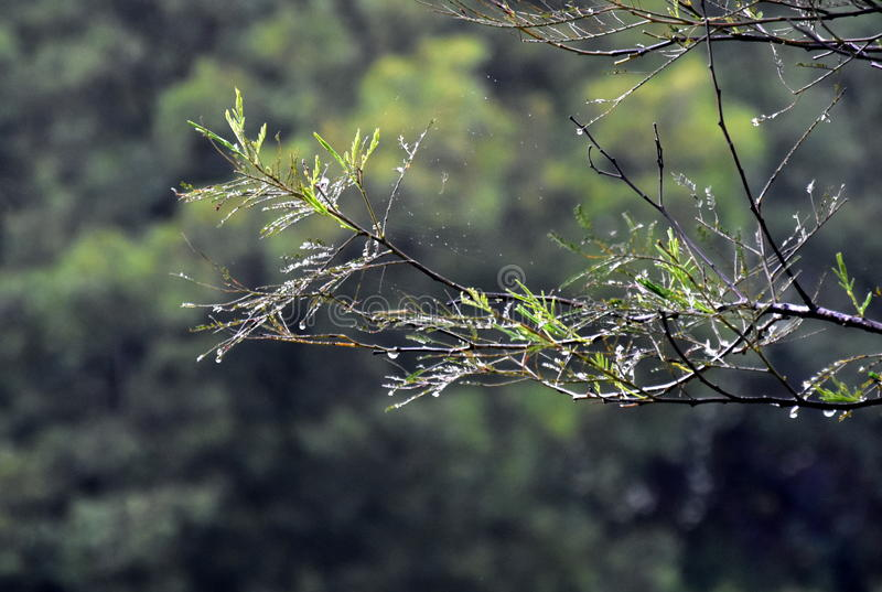 Wet tree branches in the forest with water drops and blurred background. royalty free stock image
