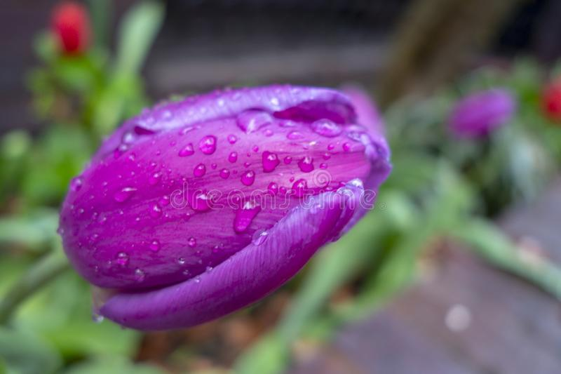Wet with water drops purple violet fuchsia tulips in a green garden royalty free stock images
