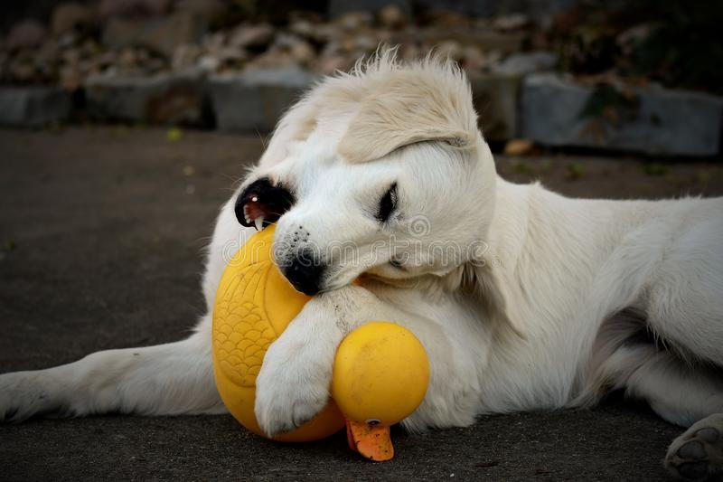 Retriever Rubber Ducky stock photography
