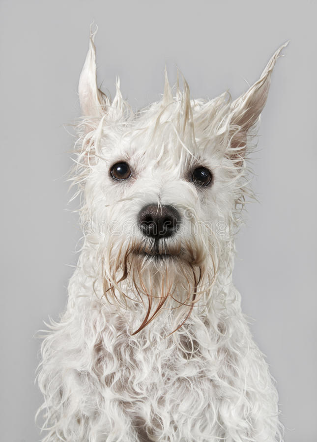 Wet white schnauzer. Funny wet white schnauzer dog after the bath royalty free stock image