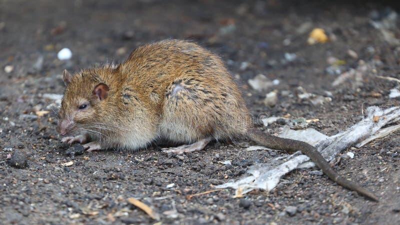 Wet wild rat sitting on the ground. A wet wild rat sitting on the ground royalty free stock photography