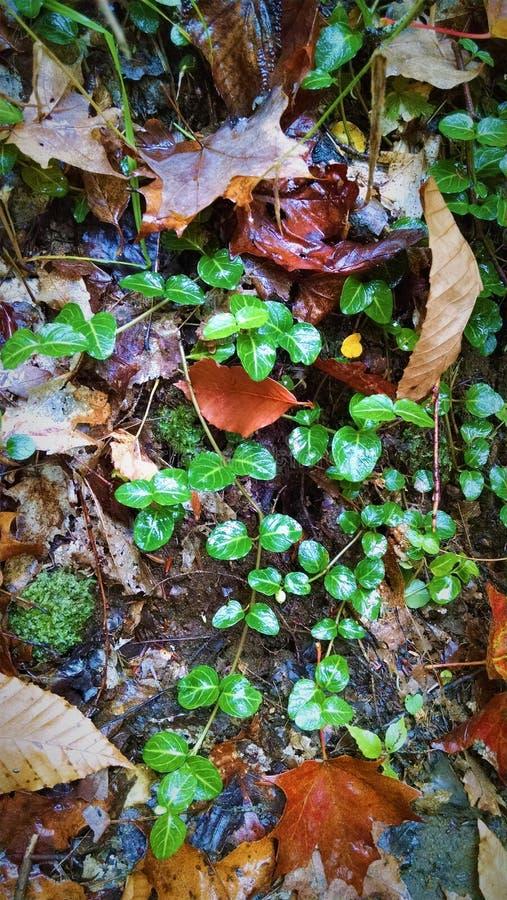 Wet wintergreen sidor skiner i hösten Catskills fotografering för bildbyråer