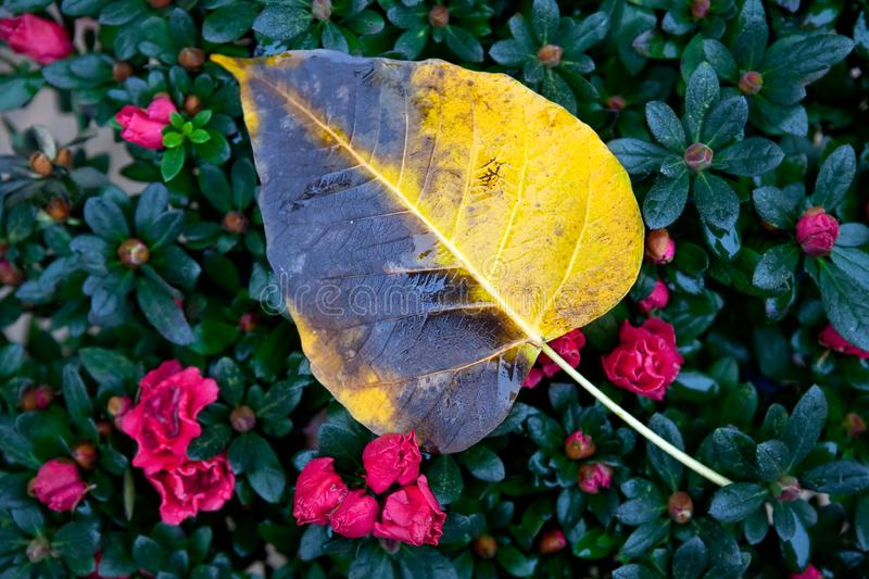 A wet yellow leaf royalty free stock photo
