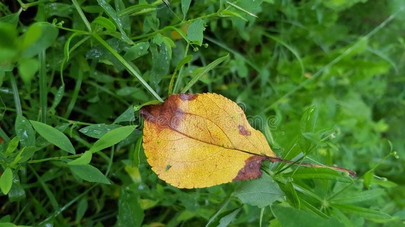 Wet yellow leaf on wet green gress after rain. Autumn season mood. Fall season scene. Loneliness concept royalty free stock images