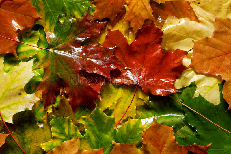 Wet yellow and red mapple leaves royalty free stock photography