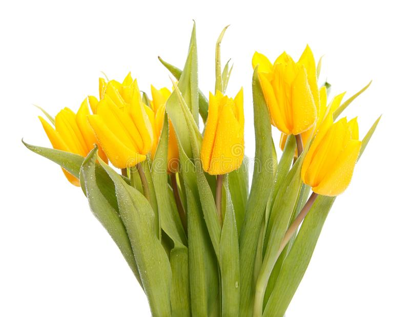 Download Wet yellow tulips stock photo. Image of smell, background - 23971012
