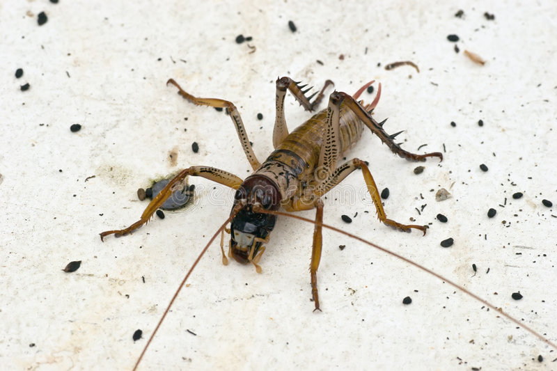 Download Weta 01 stock photo. Image of insect, spike, aotearoa - 4291916