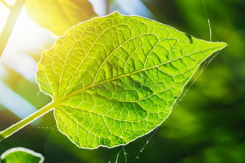 Wetenschap van ecologie Textuur van het close-up de groene blad met chlorofyl en proces stock foto's