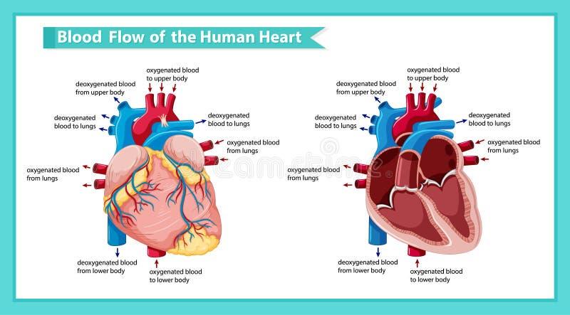Wetenschappelijke medische illustratie ofblood stroom door hart royalty-vrije illustratie