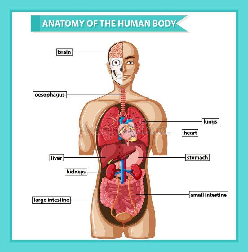 Wetenschappelijke medische illustratie van menselijk lichaamsanatomie vector illustratie