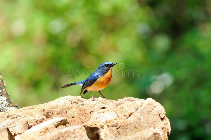 Wetenschappelijke naam van de heuvel de blauwe vliegenvanger: Cyornisbanyumas stock foto