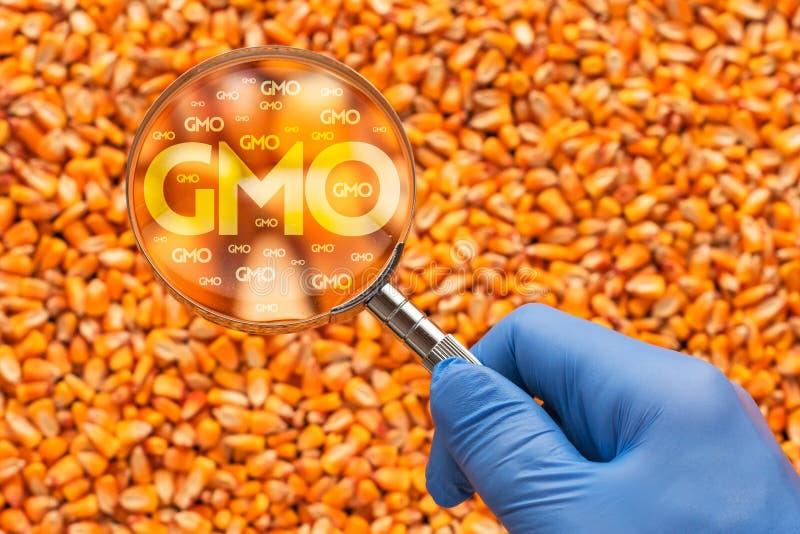Wetenschapper het inspecteren graanzaad voor GMO royalty-vrije stock afbeelding
