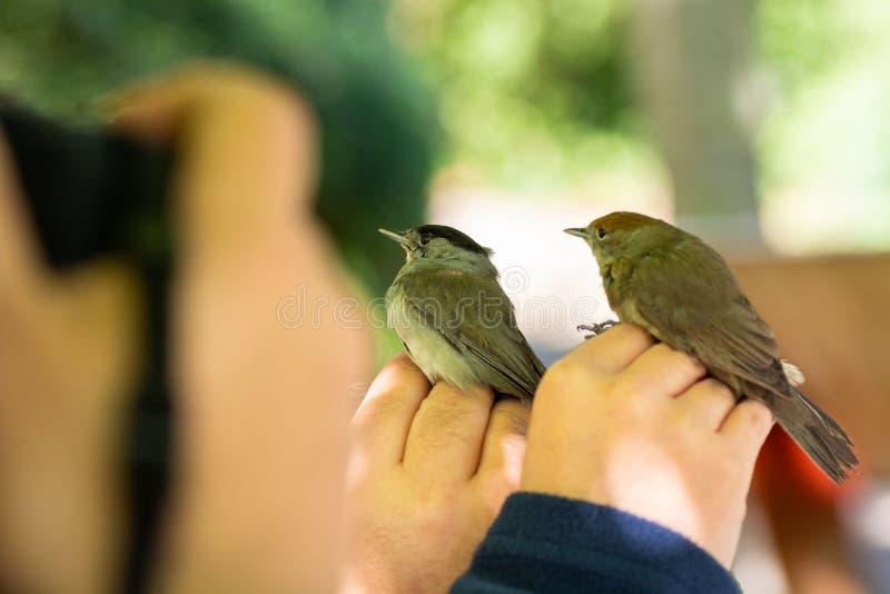 Wetenschappers die een mannetje en een vrouwelijke Europees-Aziatische atricapilla van blackcapsylvia in een vogel verbindende/be royalty-vrije stock afbeelding