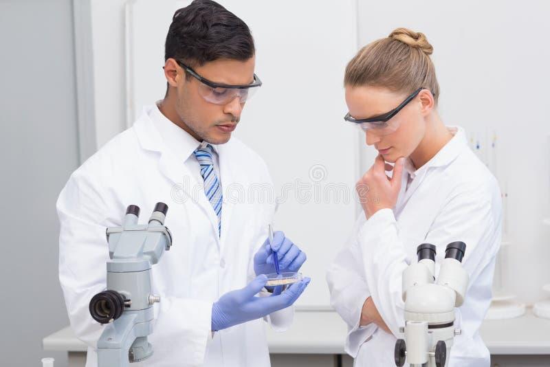 Wetenschappers die petrischaal onderzoeken stock foto's