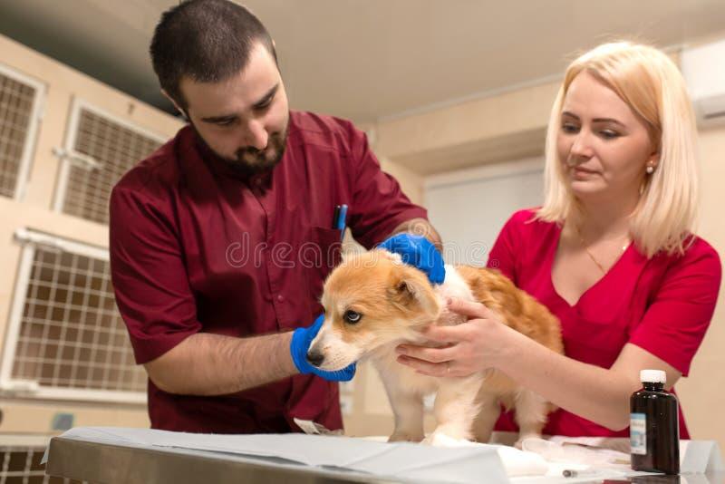 Weterynaryjnego lekarka egzaminu corgi mały pies w manipulacja pokoju zwierzę domowe klinika Zwierzę domowe opieka zdrowotna zdjęcie royalty free