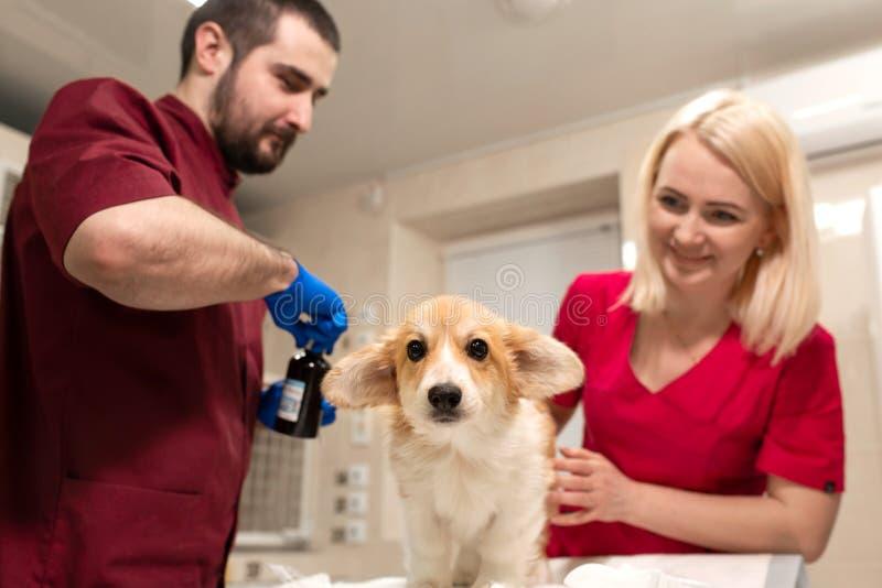Weterynaryjnego lekarka egzaminu corgi ma?y pies w manipulacja pokoju zwierz? domowe klinika Zwierz? domowe opieka zdrowotna obrazy royalty free