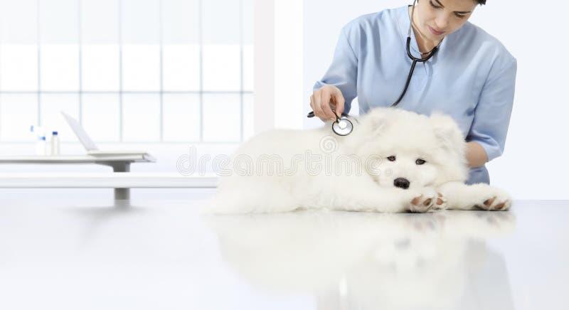 Weterynaryjny egzaminacyjny choroba pies, weterynarz z stetoskopem o zdjęcie stock