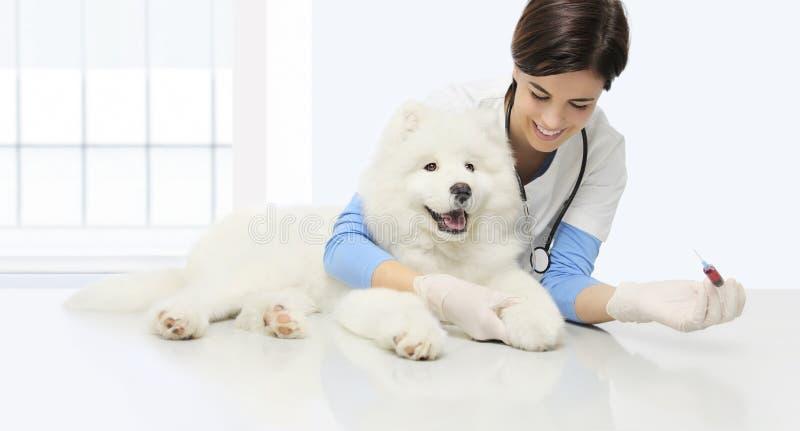 Weterynaryjny egzaminu pies, badanie krwi, uśmiechnięty weterynarza dowcip fotografia royalty free