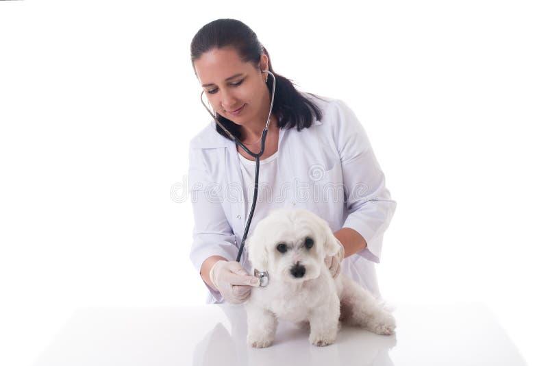 Weterynarz egzamininuje ślicznego psa z stetoskopem, odizolowywającym zdjęcia royalty free