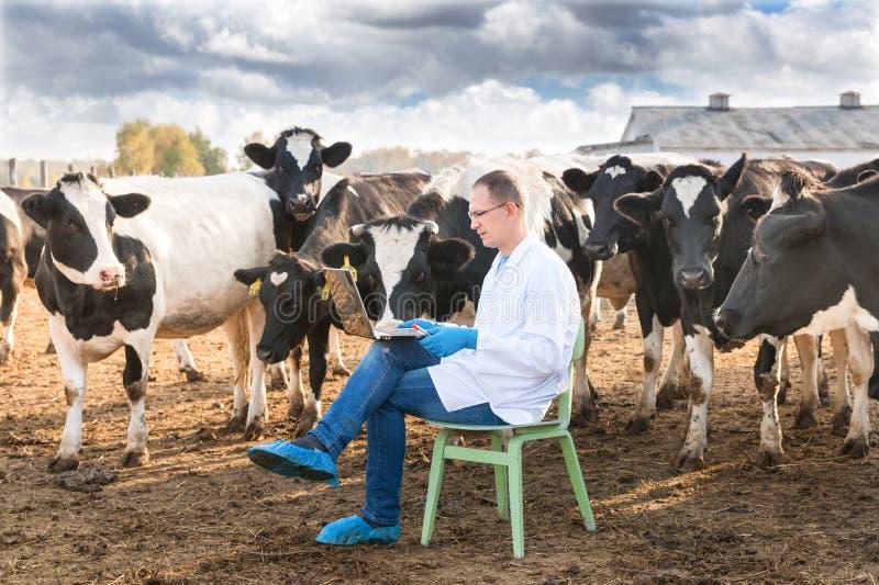 Weterynarz przy rolnym bydłem zdjęcie royalty free