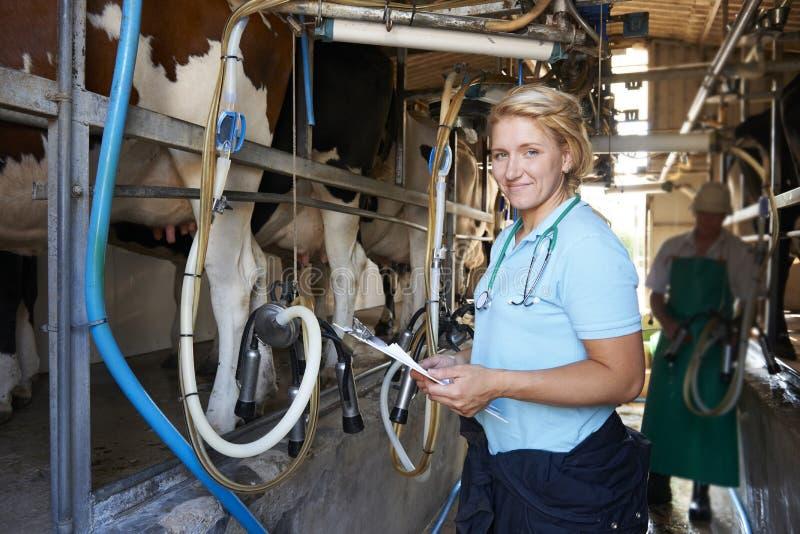 Weterynarz Sprawdza bydła Podczas gdy one Doją zdjęcia stock
