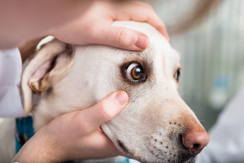 Weterynarz sprawdza psa oko zdjęcia stock