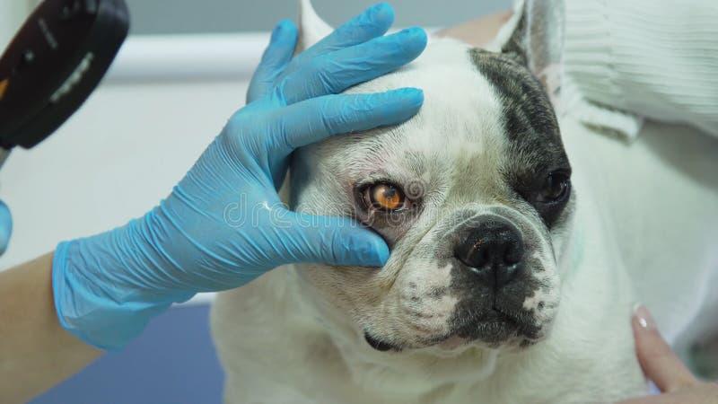 Weterynarza oftalmolog egzamininuje oczy pies obraz royalty free