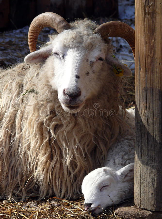 Download Wether And Lamb Stock Photo - Image: 13212270