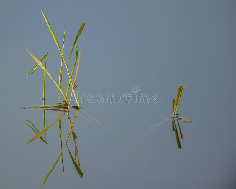 wetland aquatic grasses with reflection on a peaceful lake in the Crex Meadows Wildlife Area in Northern Wisconsin.  stock photography