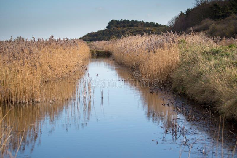 Wetland area with reeds. Norfolk UK royalty free stock photos