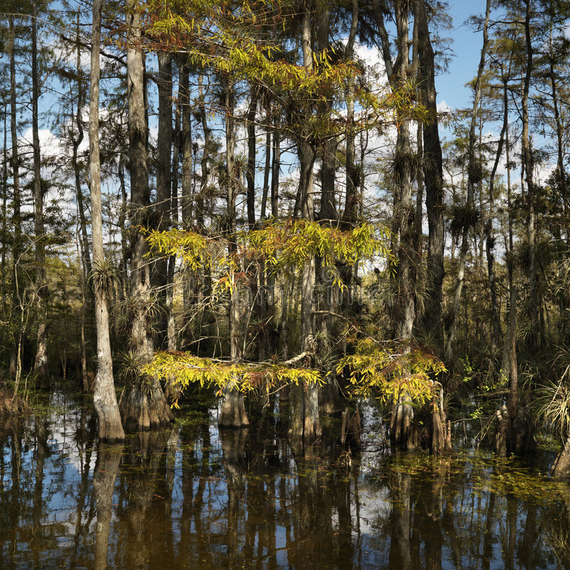 Wetland in Florida Everglades. royalty free stock images