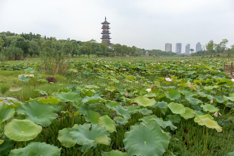 Nanchang like Lake Wetland Park. Wetland is the `kidney of the earth`, and wetlands can effectively remove the pollutants such as nitrogen, phosphorus and heavy royalty free stock photo