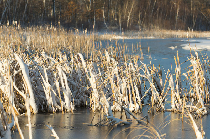 Wetland in the late spring. A snow covered wetland in the late spring stock photography