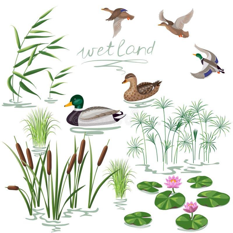 Free Wetland Plants And Ducks Set Royalty Free Stock Photos - 57070318