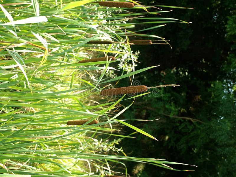 Wetland Reeds. Reeds growing in a wetland area in northern Italy royalty free stock images