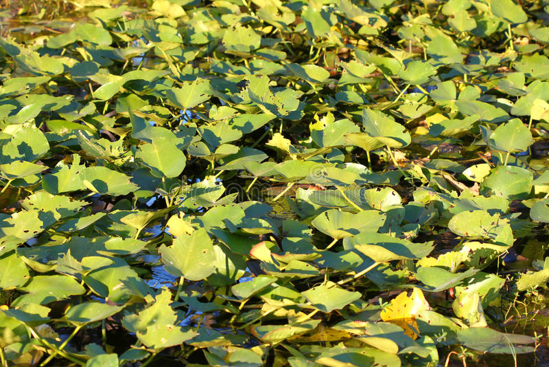 Wetland Vegetation in Florida stock images