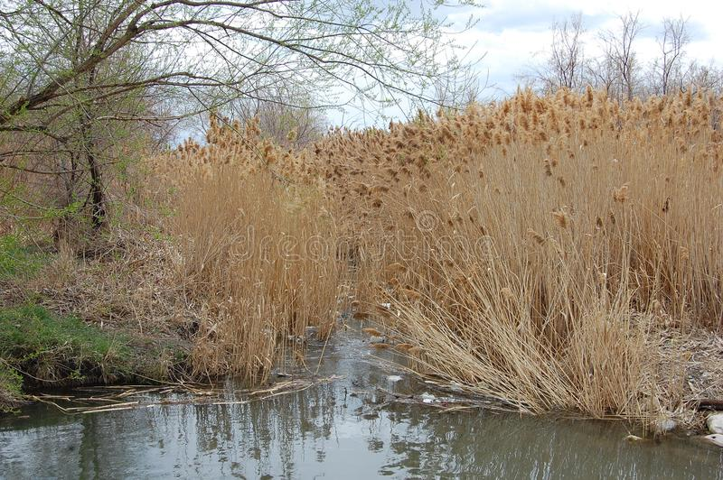 Wetlands with Bare Trees and Cattails stock images
