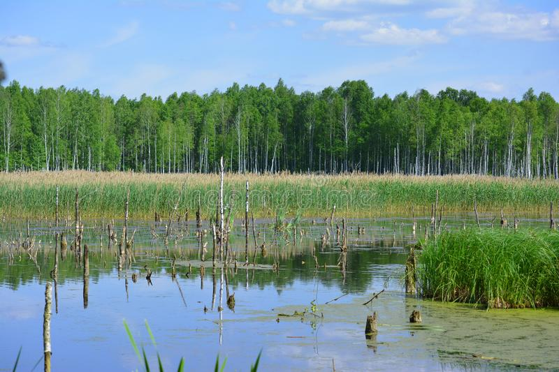 Wetlands in Belarus at sunny day royalty free stock image