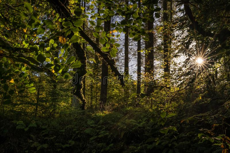 Sun star in mossy forest, wetlands with moss on tree branches and sun rays shining through leafs, autumn landscape royalty free stock images