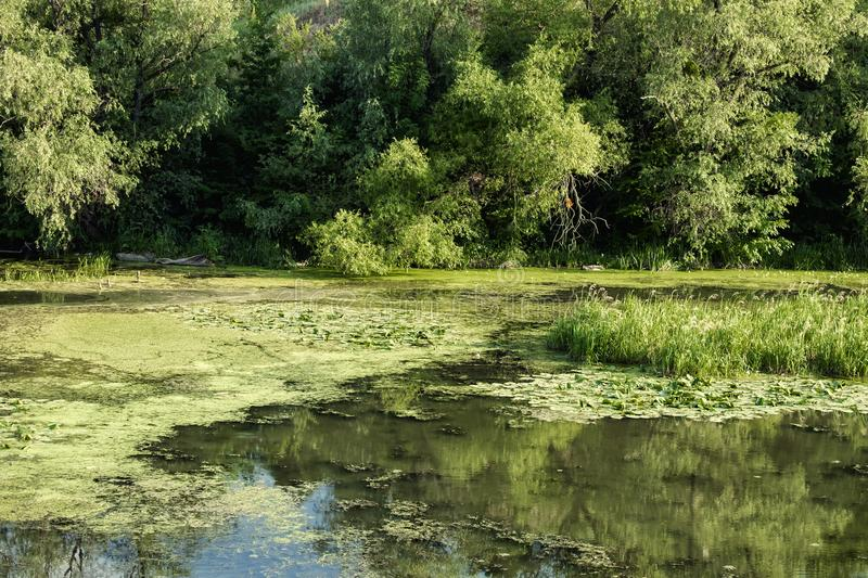 Wetlands and overgrown with algae section of the river. Wetlands. Overgrown with algae section of the river stock photos