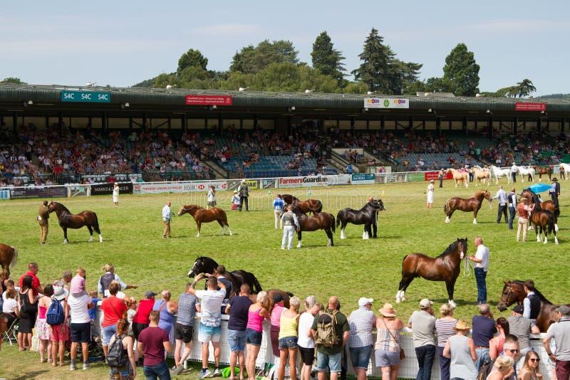 Wettbewerb 'Royal Welsh Show Cob Hengst' stockfotos
