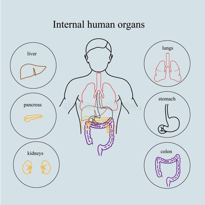 Wewnętrzni organy w ciele ludzkim Anatomia ludzie ilustracja wektor