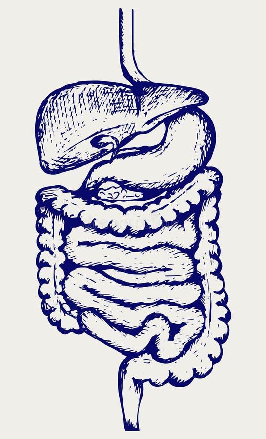 Wewnętrzny ludzki trawienny system ilustracja wektor